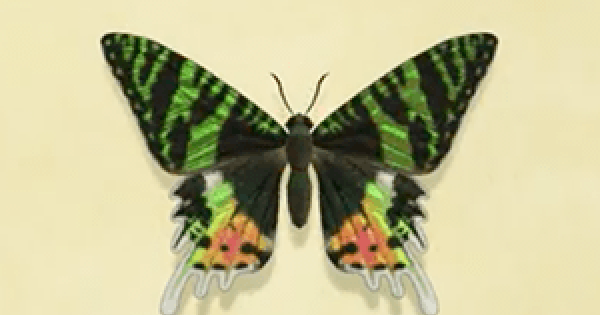 【Animal Crossing】Madagascan sunset moth - How To Catch & Price【ACNH】 - GameWith