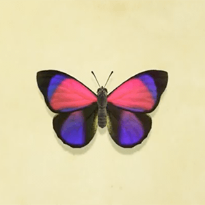 Agrias butterfly