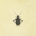 Cricket de Bell