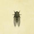 Walker cicada