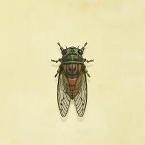 Evening cicada