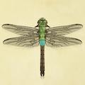 Darner dragonfly