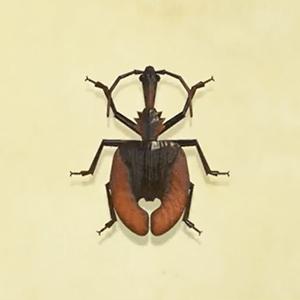 Violin beetle