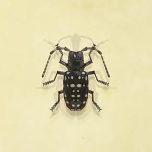 Citrus long-horned beetle