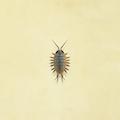 Wharf roach