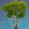 Yellow Sandbearer Tree