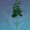 Qingce Heronleaf Bamboo