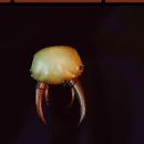 Larva Head Mount