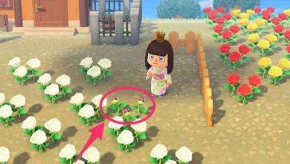 White Rose x White Rose = Purple Rose