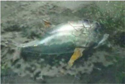 Gastronome Tuna
