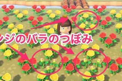 Yellow Rose x Red Rose = Orange Rose